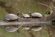 Drie Schildpadden die in Water worden weerspiegeld Stock Fotografie