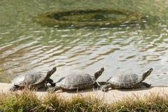 Drie schildpadden het zonnebaden Stock Fotografie