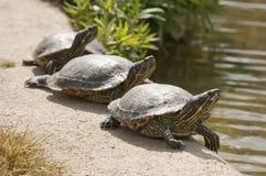 Drie schildpadden het zonnebaden Royalty-vrije Stock Afbeelding