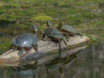 Drie Schildpadden op een Logboek Stock Afbeeldingen