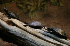 Drie schildpadden op een sectie van een logboek Stock Foto's