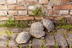 Drie schildpaddenclose-up Stock Fotografie