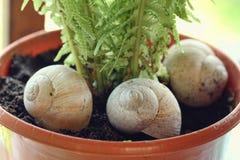 Drie shells in een pot Stock Foto