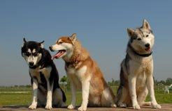Drie Siberische huskies Royalty-vrije Stock Foto