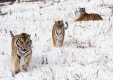 Drie Siberische Tijgers Royalty-vrije Stock Foto