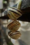 Drie slakken, die van aan een andere hangen Royalty-vrije Stock Afbeeldingen