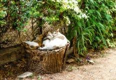 Drie slaperige katten op stomp Stock Foto's