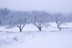 Drie sneeuw behandelde bomen. Stock Afbeeldingen