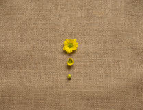 Drie stadia van bloeiende madeliefjes - camomiles op de jute fone royalty-vrije stock fotografie