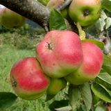 Drie Sterrig Rood Api Apples Close-Up Stock Afbeeldingen