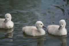 Drie Stodde Zwaanjonge zwanen die op een vijver zwemmen Royalty-vrije Stock Afbeeldingen
