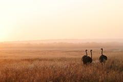 Drie Struisvogels Stock Foto's
