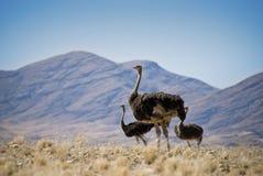 Drie struisvogels Royalty-vrije Stock Foto