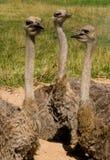 Drie struisvogels Stock Fotografie