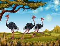 Drie struisvogels die op het gebied lopen Stock Afbeeldingen