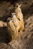 Drie Suricates of Meerkats royalty-vrije stock afbeelding