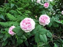 Drie tedere roze bloemen van namen van de verscheidenheid van ` Mary Rose ` op de achtergrond van groen gebladerte toe stock foto's