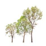 Drie tropische die bomen in Thailand op witte achtergrond wordt geïsoleerd Stock Foto's