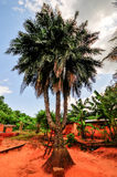 Drie Trunked Palm, Ghana royalty-vrije stock afbeelding