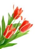 Drie tulpen Stock Afbeeldingen
