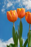 Drie Tulpen Stock Fotografie