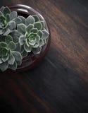 Drie uiterst kleine succulents Stock Afbeelding