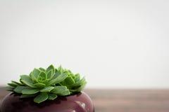 Drie uiterst kleine succulents Royalty-vrije Stock Afbeelding