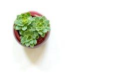 Drie uiterst kleine succulents Stock Afbeeldingen