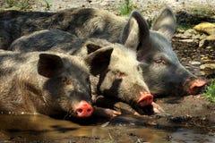 Drie varkens Royalty-vrije Stock Foto