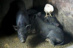 Drie varkens en één kuiken stock foto