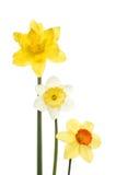 Drie verschillende gele narcissen Stock Afbeeldingen