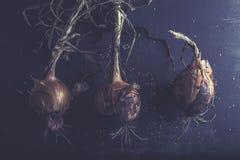 Drie verse uien van de tuin, met wortels, op donkere achtergrond Royalty-vrije Stock Fotografie