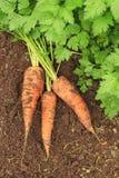 Drie verse wortelen en peterselie die op de grond liggen Royalty-vrije Stock Afbeeldingen