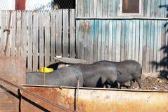 Drie Vietnamese varkens in een reeks van tribune terug aan een dorp yar Stock Foto's