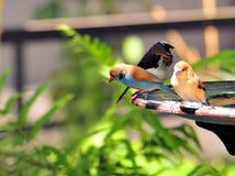 Drie vinkvogels in vogelbad in vogelhuis Stock Afbeelding