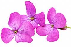 Drie violette bloemen. Close-up op witte achtergrond. Geïsoleerd. royalty-vrije stock foto's