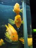 Drie vissen staren op u Stock Fotografie