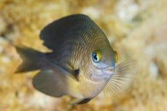 Drie Vlek damselfish-Stegastes planifrons royalty-vrije stock fotografie