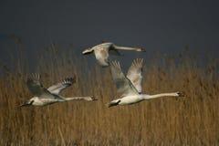 Drie vliegende zwanen Royalty-vrije Stock Afbeeldingen