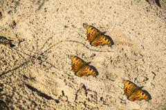 Drie vlinders op het zand royalty-vrije stock foto