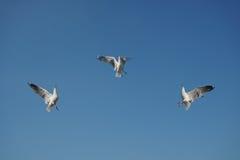 Drie vogels die voedsel in hemel wegrukken Royalty-vrije Stock Afbeeldingen