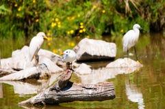 Drie vogels die zich in het water bevinden Witte meeuw op de dode tak en twee reigers op de achtergrond royalty-vrije stock afbeelding
