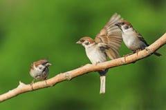 Drie vogels op een tak Stock Afbeeldingen