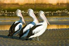 Drie volwassen Australische pelikanen op het strand Stock Afbeeldingen
