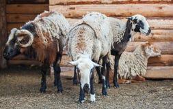 Drie volwassen schapen en één schaap zijn in de schuur voor de dieren op het landbouwbedrijf Stock Fotografie