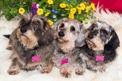 Drie vrij bejaarde wire-haired miniatuurtekkels Royalty-vrije Stock Fotografie