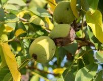 Drie vruchten van Juglans regia op de tak Royalty-vrije Stock Foto