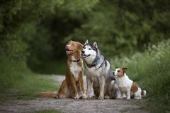 Drie vuile honden: Nova Scotia-de Retriever van de eendtol, Siberisch H stock afbeeldingen