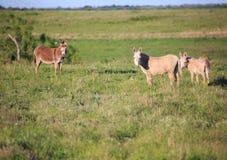 Drie waakzame ezels stock afbeelding