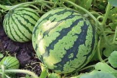 Drie watermeloenen die in de tuin groeien Royalty-vrije Stock Afbeeldingen